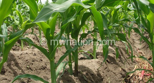 Maize production in Malawi has fallen by 27.7% in 2015