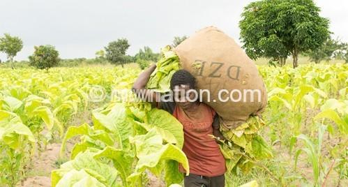 Tobbaco farmer   The Nation Online