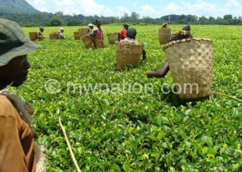 Malawi's tea, tobacco and textiles enter international markets in unprocessed form