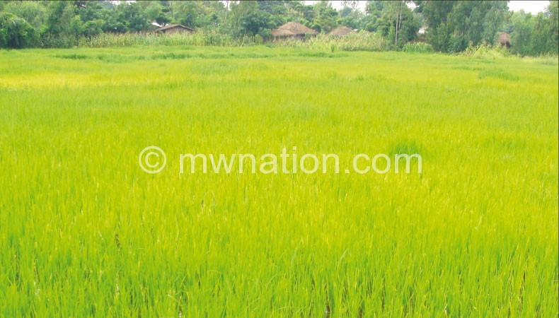 Rice field closeup | The Nation Online