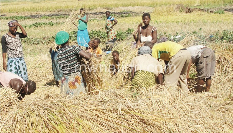 Rice farmers closeup | The Nation Online