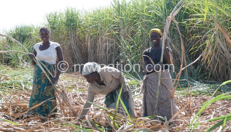 Total sugar cane production soared 2.4 million tonnes