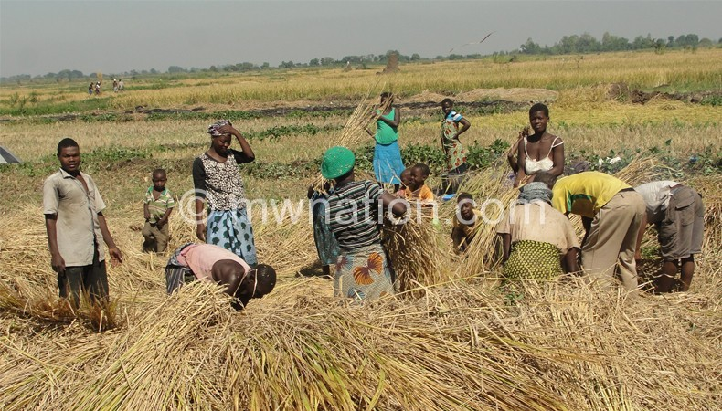 Harvesting rice | The Nation Online