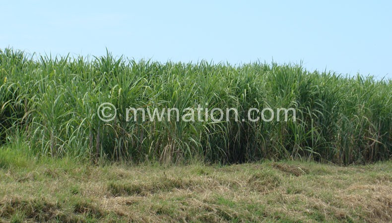 Sugarcan plantation | The Nation Online
