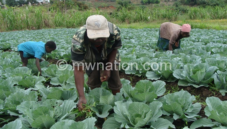 Farmers in a cabbage field | The Nation Online