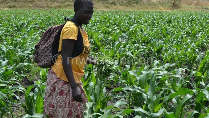 A young woman waters her tomato crop at Chiyendausiku in Balaka