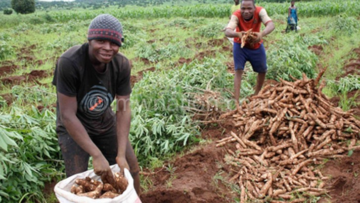 Being touted as an alternative to  maize: Cassava