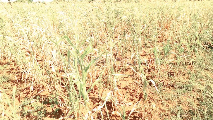 A prolonged dry spell in 2015 affected maize  production nationwide