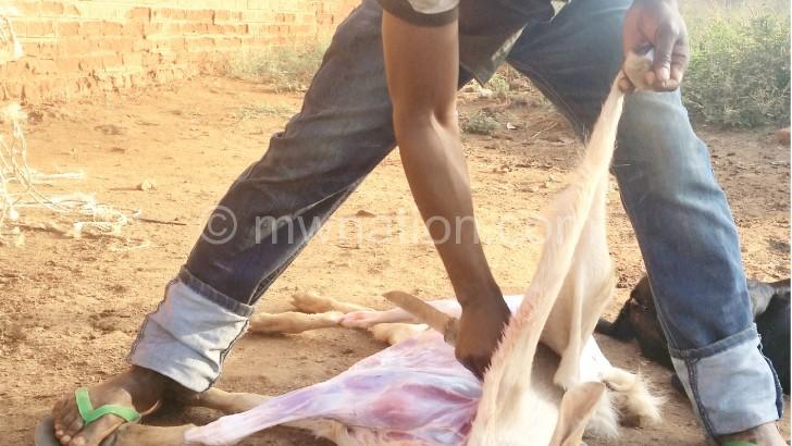 Chimsewu kusenda mbuzi ndi  mpeni wa kudzula