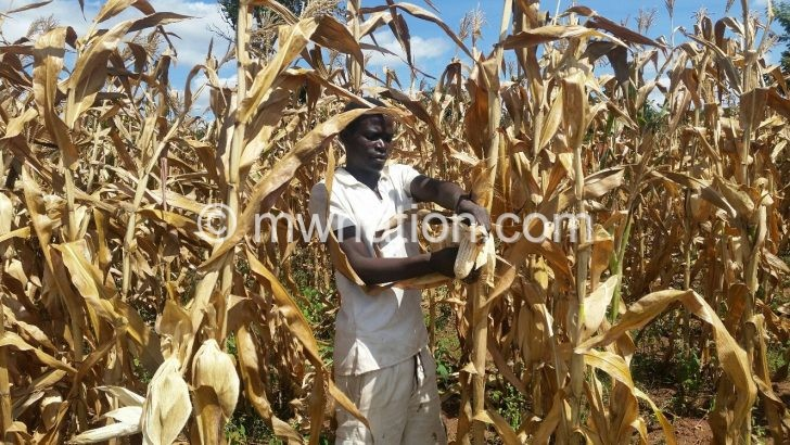 Martius John harvesting maize at prison garden