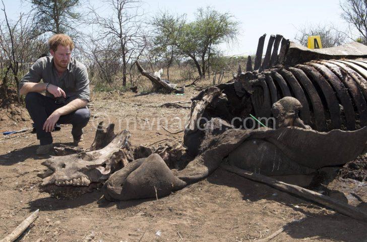 Prince Harry views an animal's skeleton