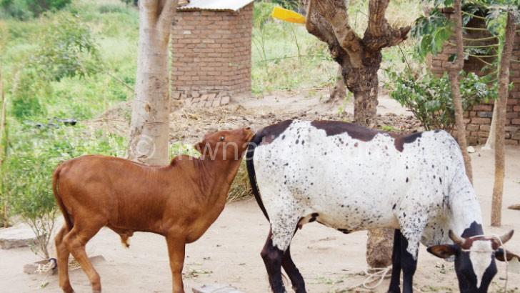Soko's cow with a hybrid calf