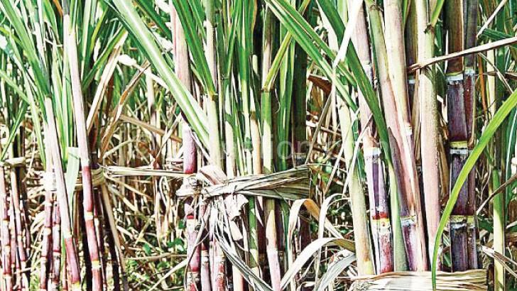 Salima Sugar Company is yet to grow its own sugar cane