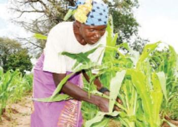 Abiti Disi inspects her devastated crop field in Mangochi