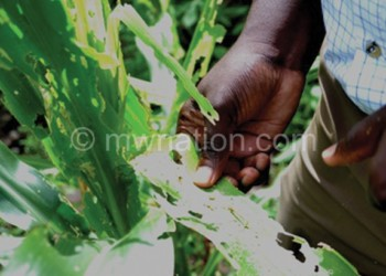 Farmers inspect crop infested with fall armyworms