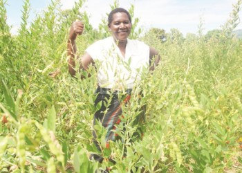 Munthali, a lead farmer at Luwuchi, Chiweta, is a role model in her area