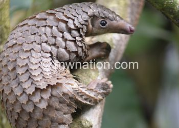 Pangolins are widely hunted for its meat and scales.