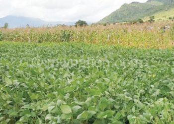 Inoculated soya-bean field