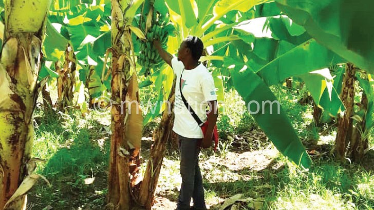 bananas | The Nation Online