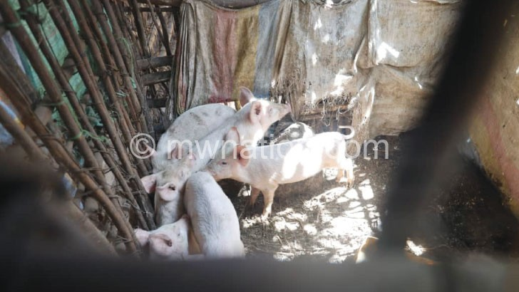 pigs | The Nation Online