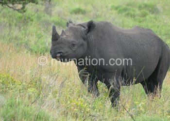 Rhinos roam Majete Wildlife Reserve
