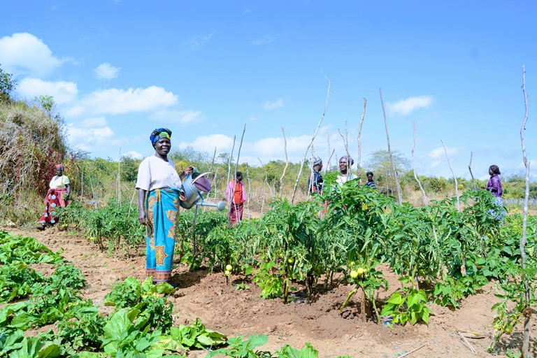 WOMEN GROUP IN TOMATO FIELD | The Nation Online
