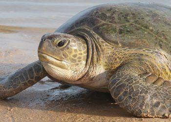 Under siege: A turtle strolls along Lake Malawi